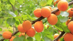 L'abricotier et ses bienfaits sur le bien-être