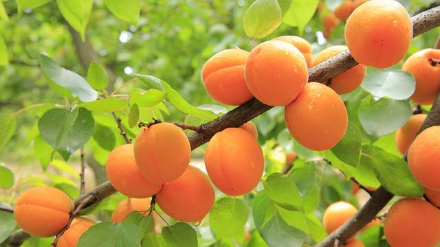 L'abricotier pour améliorer notre bien-être.